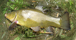 Wallington Hall tench